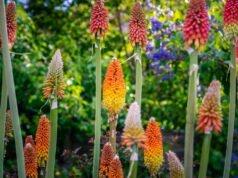 Fackellilie vermehren