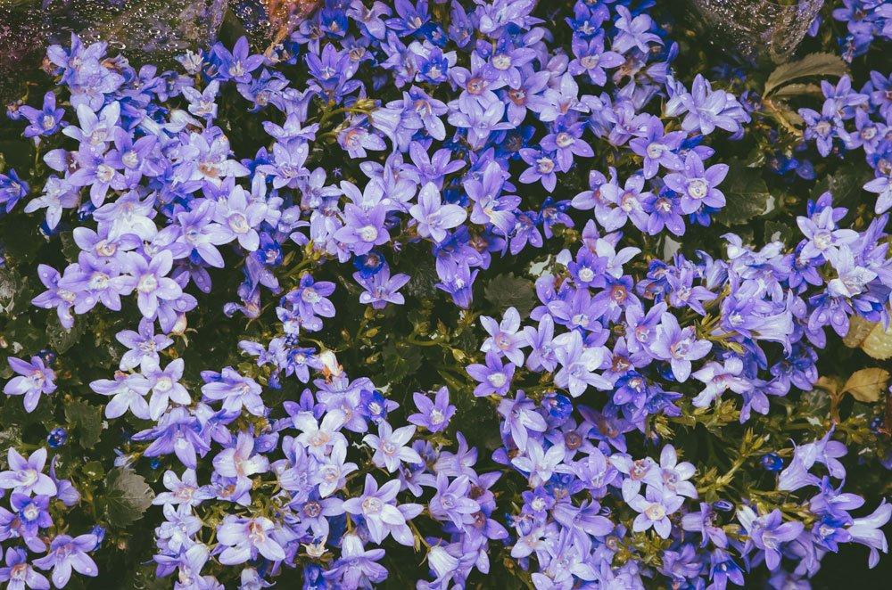 Hängepolster-Glockenblume 'Blauranke'