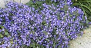 Hängepolster Glockenblume Sorten