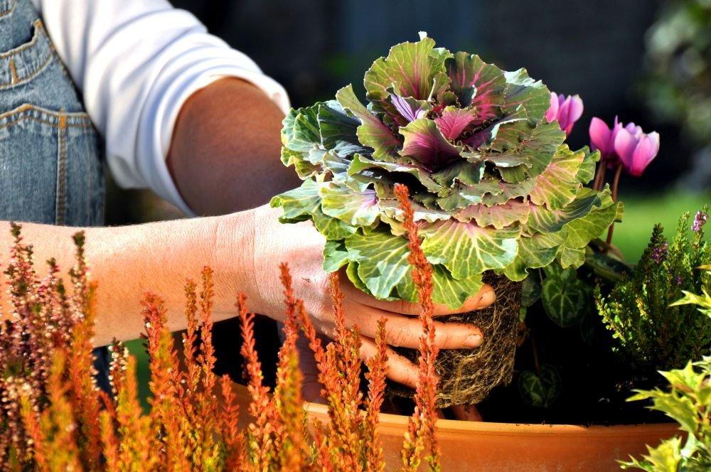 Zierkohl pflanzen