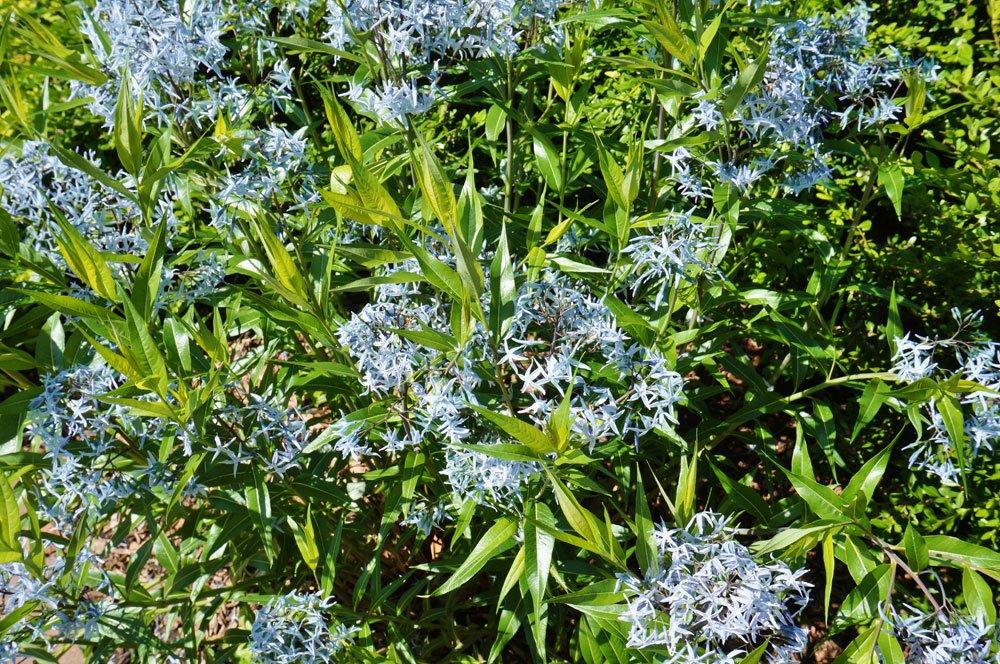 Blausternbusch