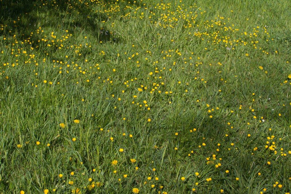 Kriechender Hahnenfuß Rasen