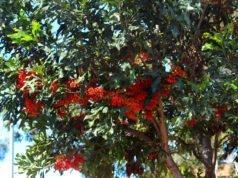 Feuerradbaum pflegen