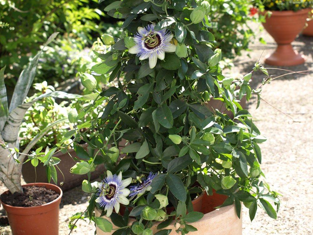 Passionsblume pflanzen