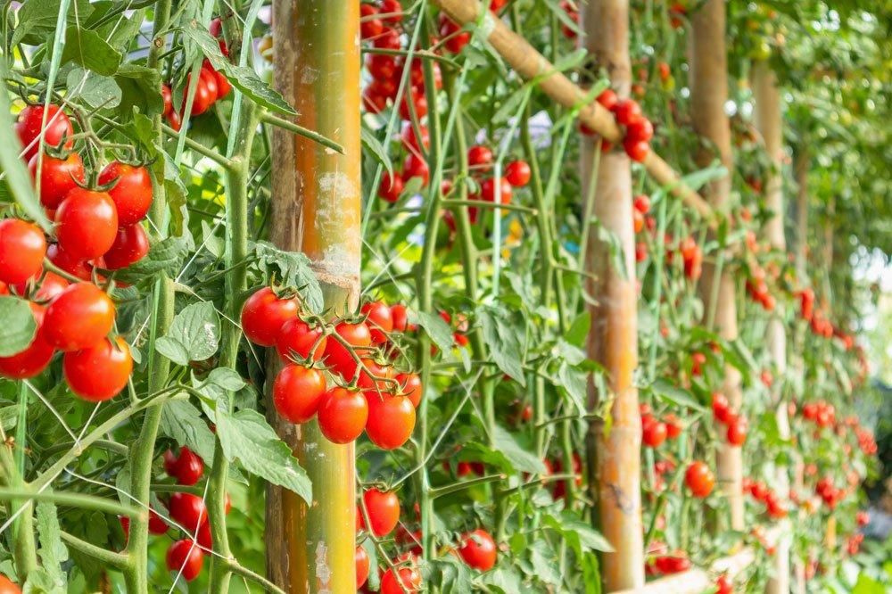 Tomaten gießen im Freiland