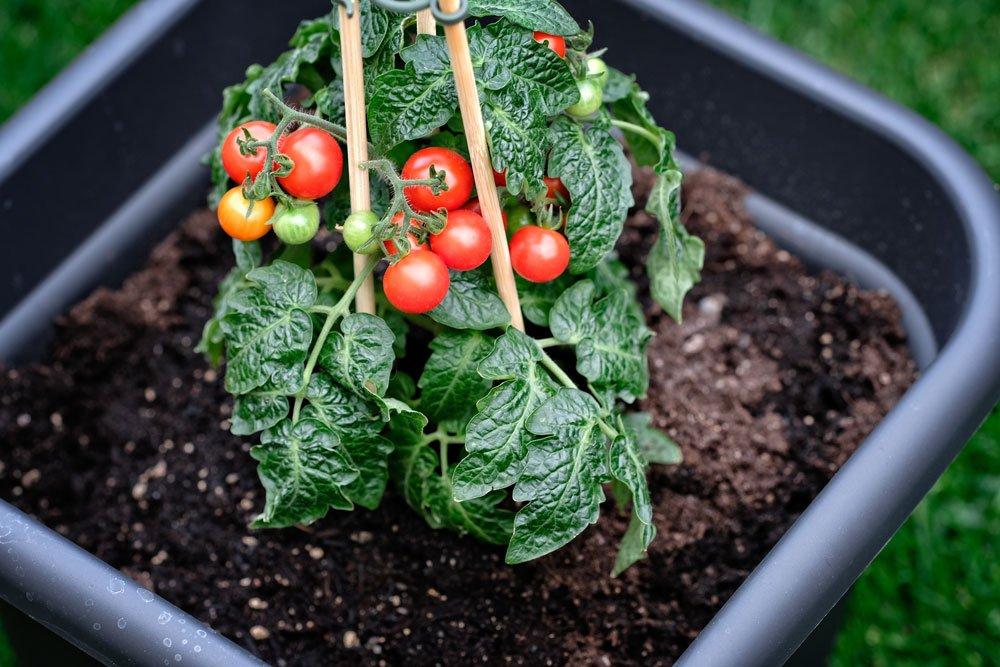 Tomaten gießen im Kübel