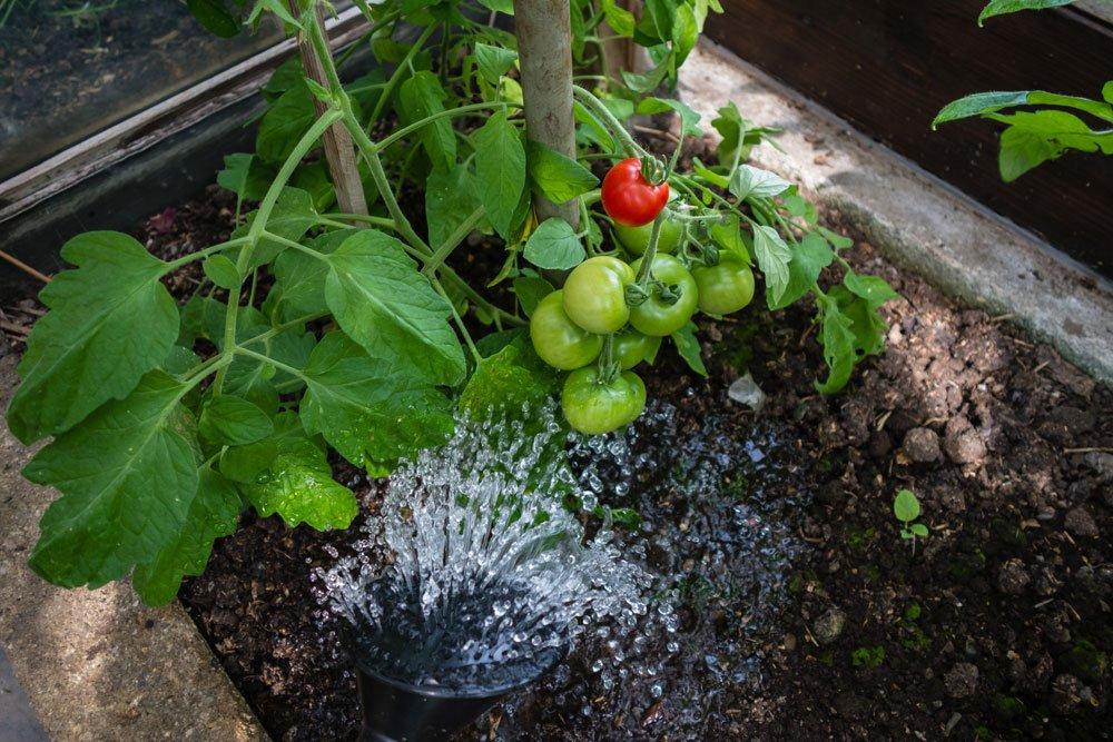 Tomaten gießen: im Freiland, im Gewächshaus und im Kübel