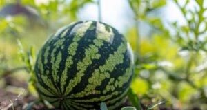 Wassermelone Reifegrad erkennen