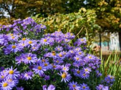 Aromatische Aster 'October Skies'