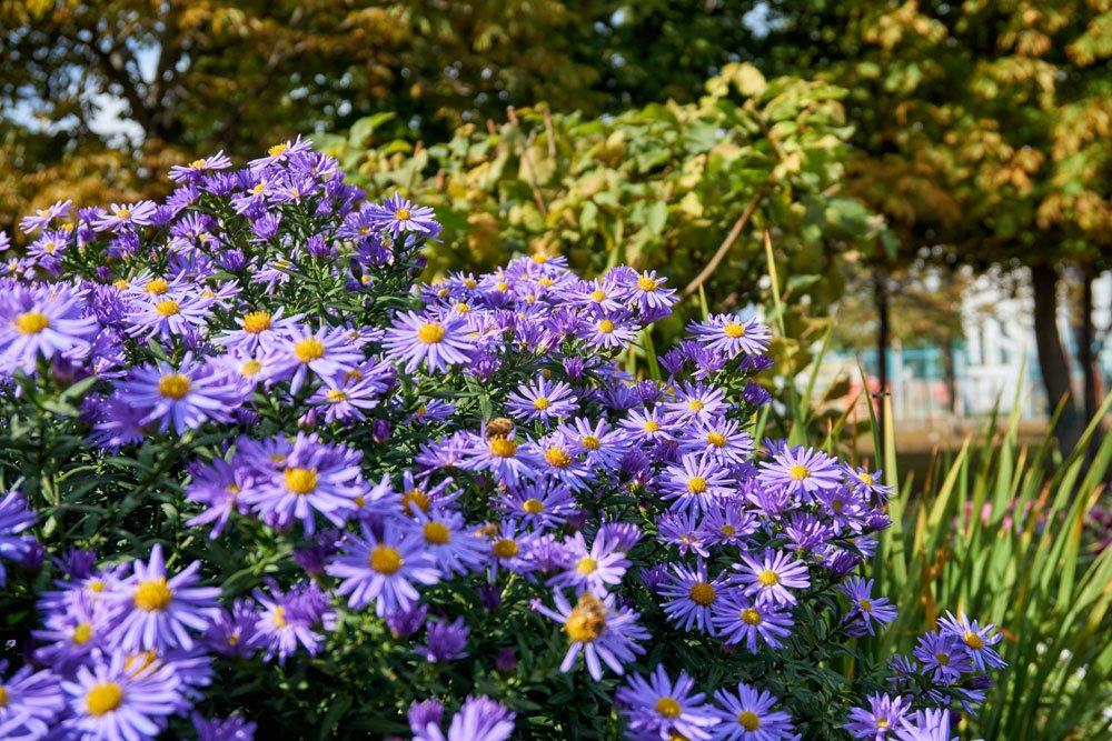 Aromatische Aster 'October Skies': Tipps zum Pflanzen und Pflegen