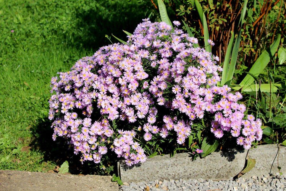 Berg-Aster pflanzen, pflegen und vermehren