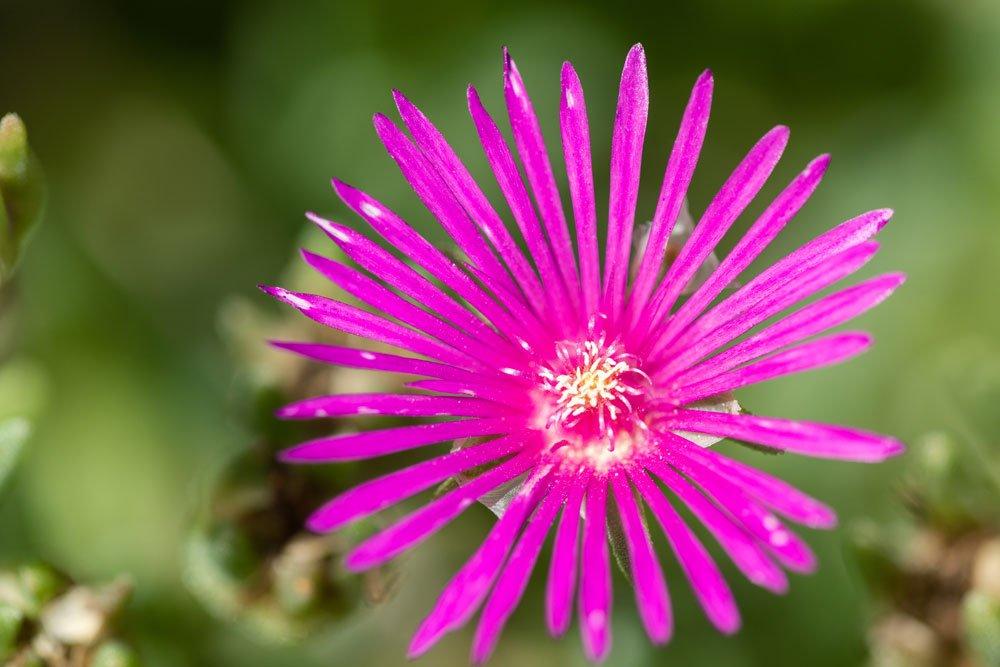 Blüte der Roten Mittagsblume