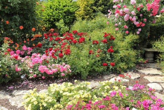 Bodendecker Rosen