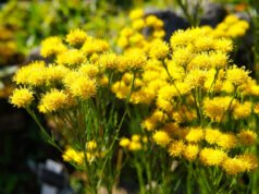 Gold-Aster