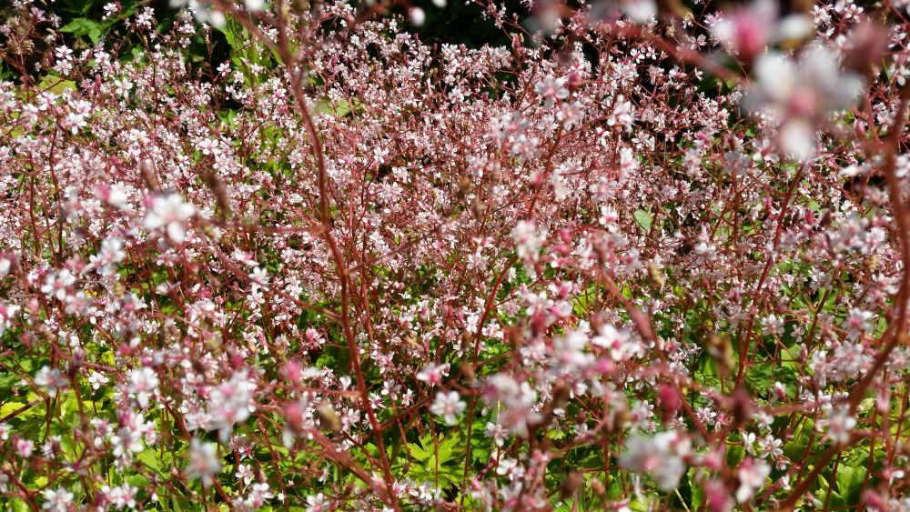 Porzellanblümchen 'Clarence Elliott' – Saxifraga x urbium perfekt für den Steingarten