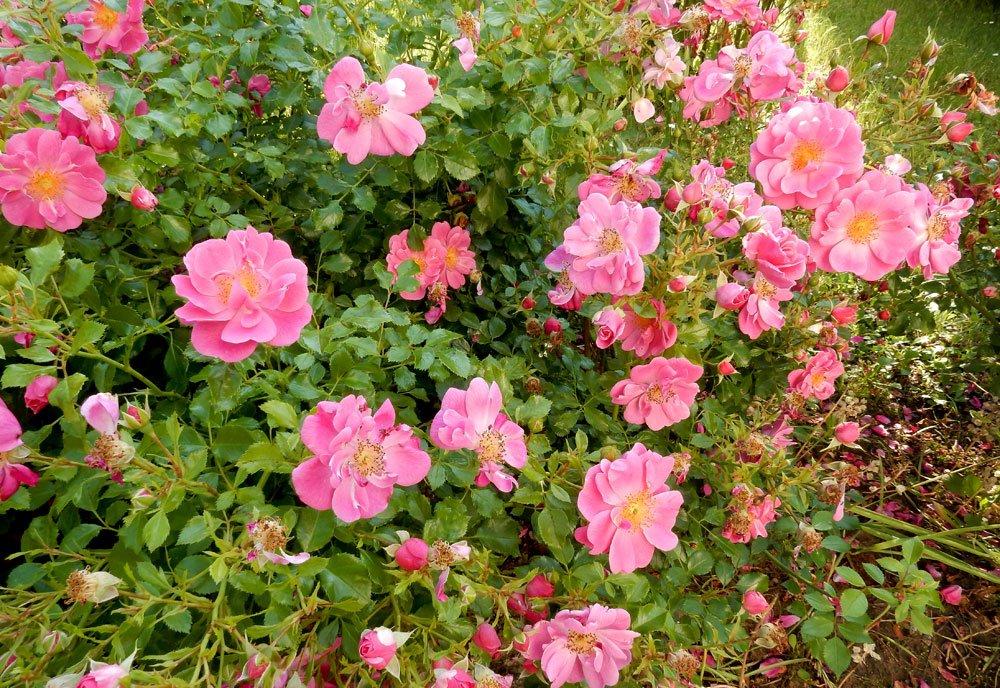 Rose Bienenweide