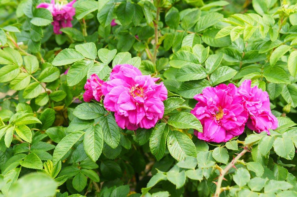 Rose Foxi