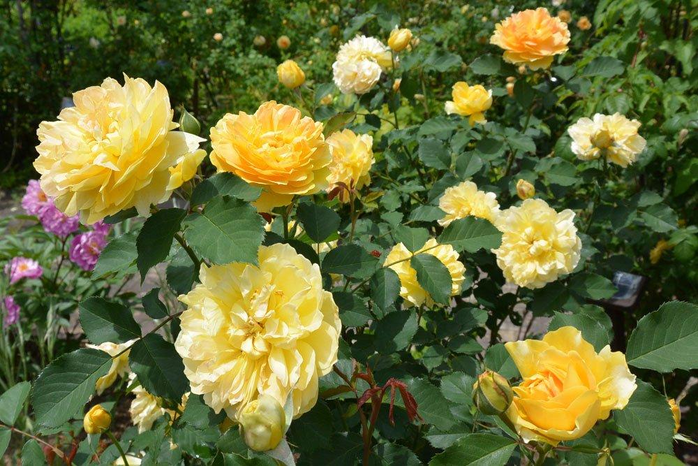 Rose Solero