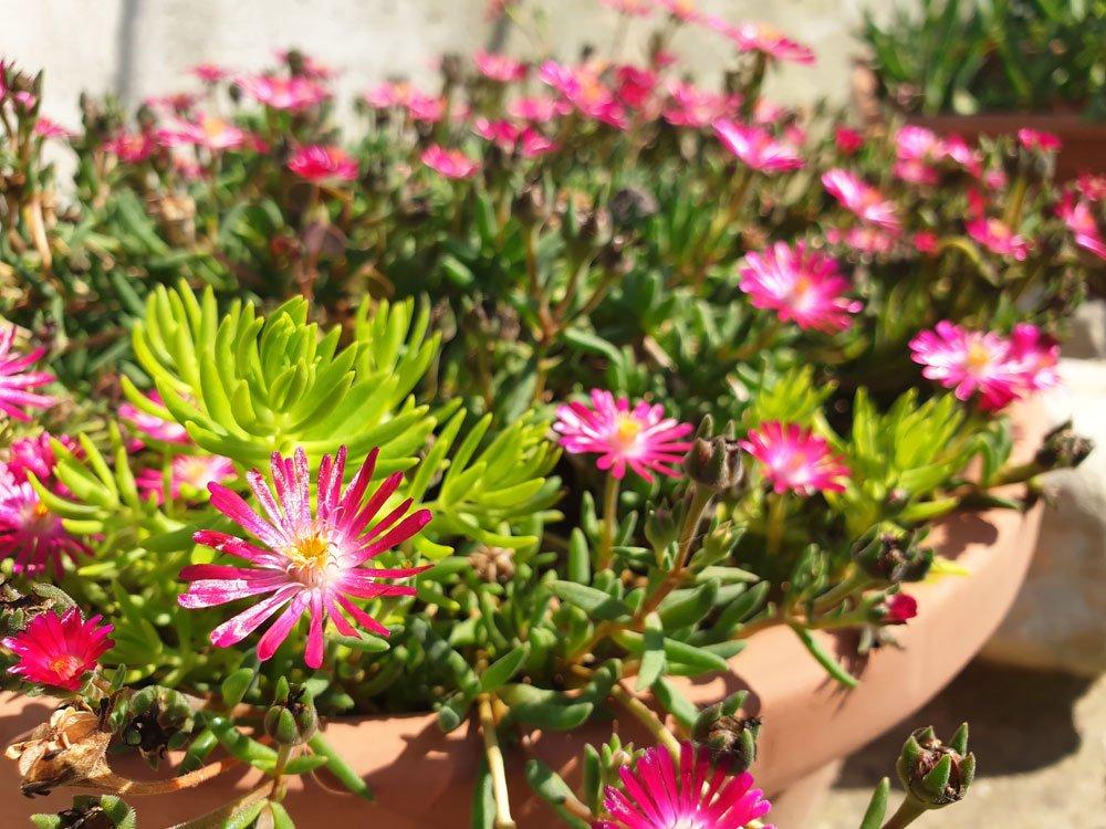 Rote Mittagsblume pflanzen