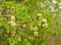 Pimpernuss pflanzen