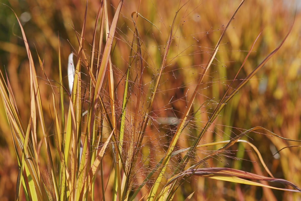 Purpur-Liebesgras – ein Süßgras für das Sonnenbeet