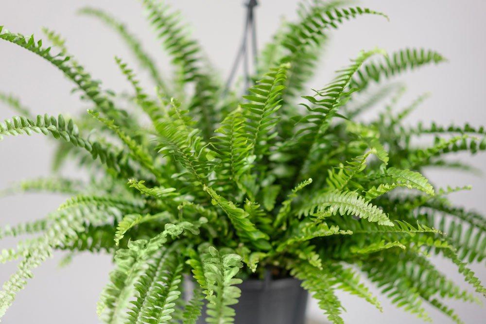 Tüpfelfarn Zimmerpflanze