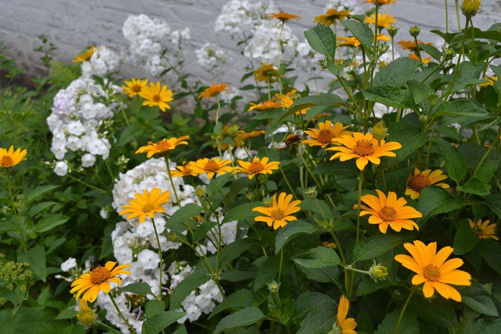 Sonnenauge pflanzen