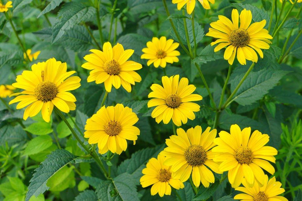 Sonnenauge pflanzen, pflegen und beliebte Sorten
