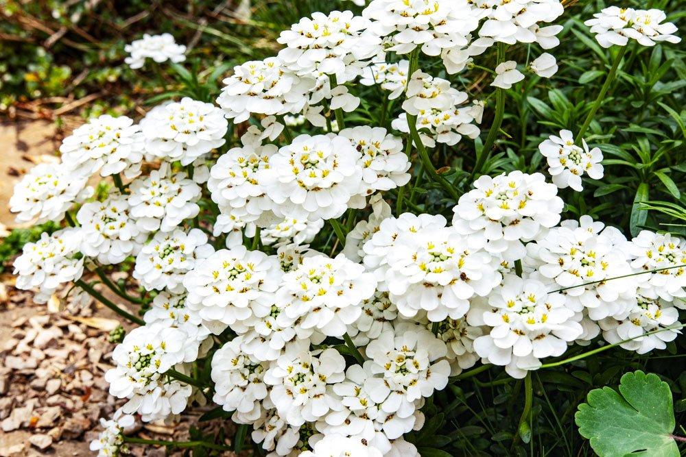Immergrüne Schleifenblume 'Schneeflocke'