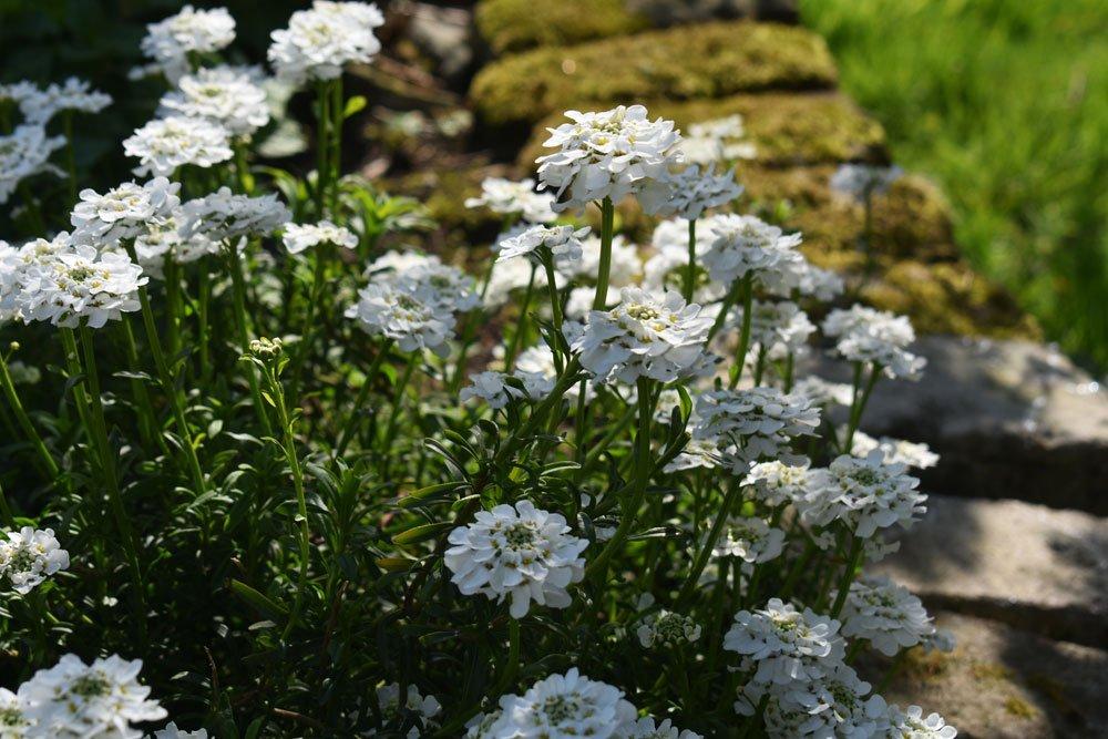 Immergrüne Schleifenblume – pflanzen, pflegen, vermehren
