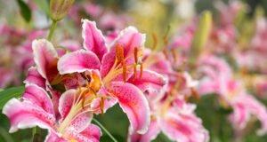 Lilien Pflege