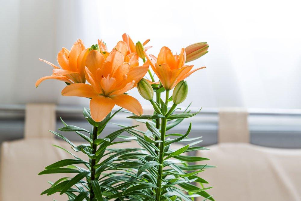 Lilien im Topf schneiden