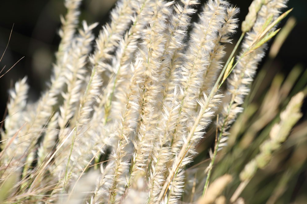 Wimper-Perlgras vermehren