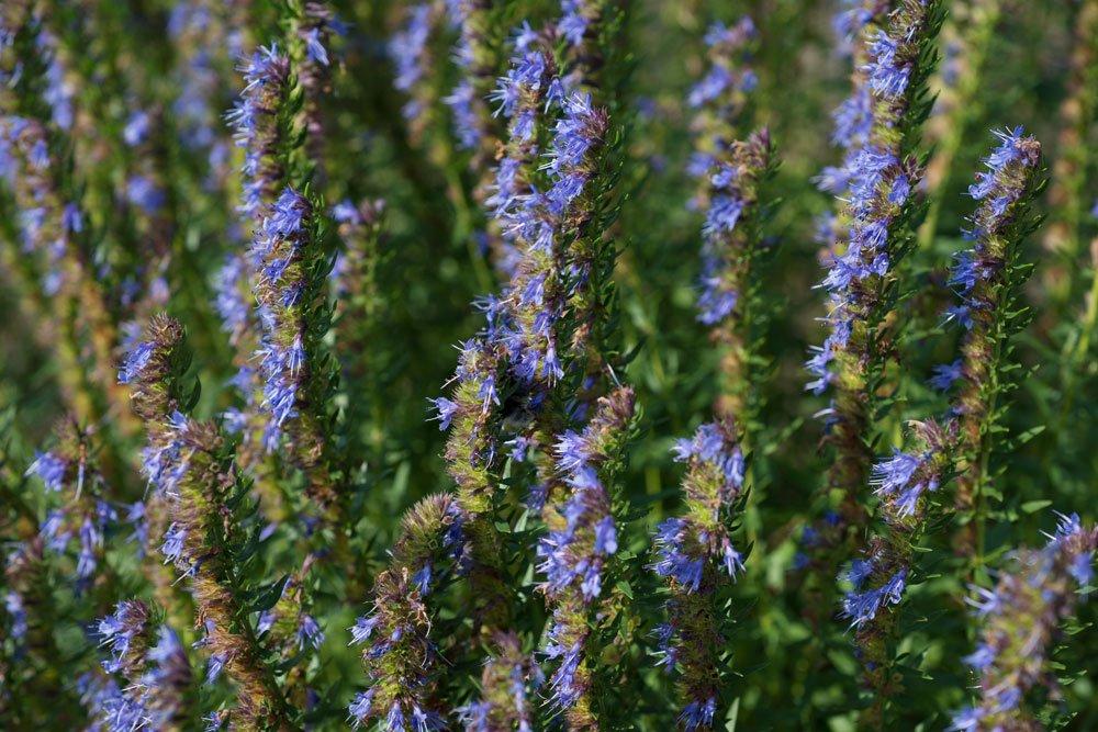 Ysop (Hyssopus officinalis) – pflanzen, pflegen und Verwendung