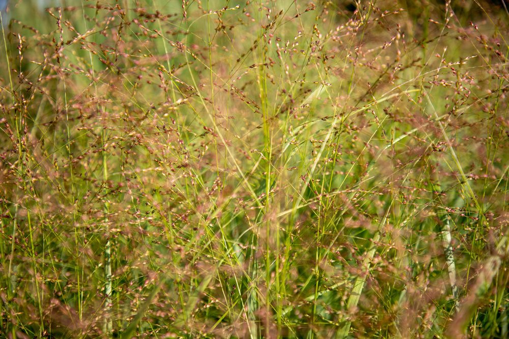 Rutenhirse Strictum