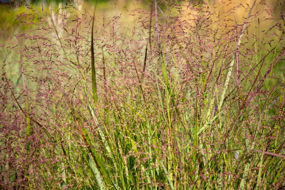 Rutenhirse – Tipps zum Pflanzen, Pflegen und beliebte Sorten