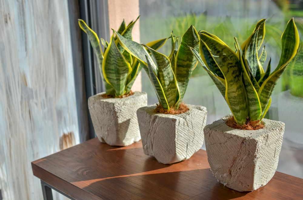 Bogenhanf: So pflegen Sie die exotische Zimmerpflanze richtig