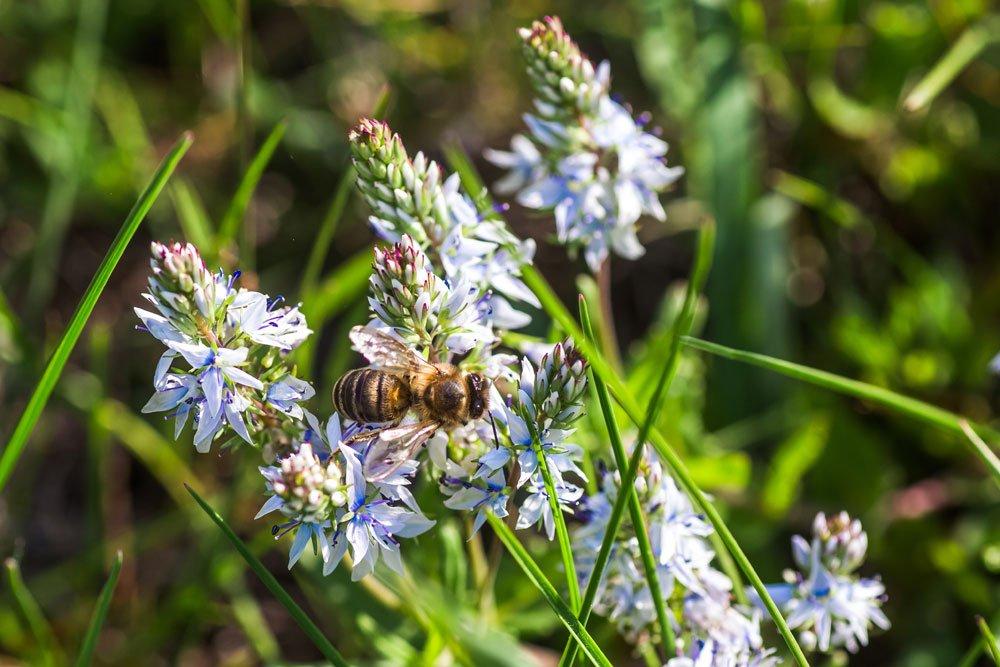 Gamander Biene