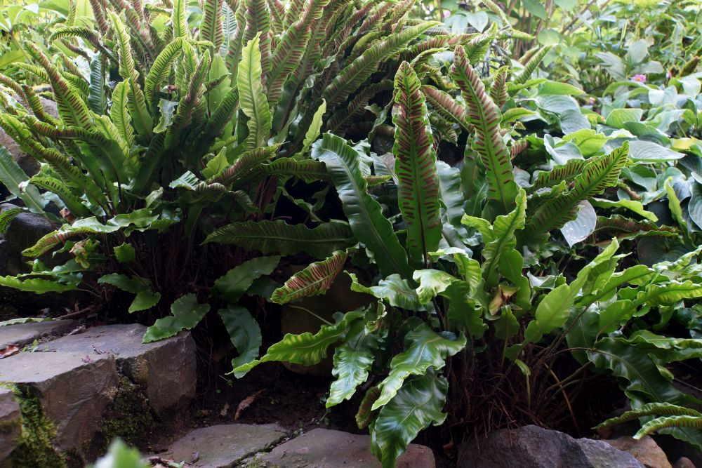 Hirschzungenfarn pflanzen, pflegen und überwintern