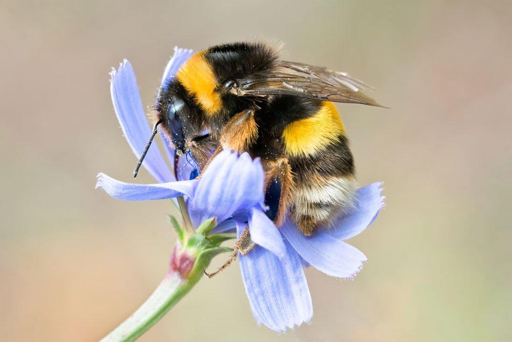 Machen Hummeln Honig?