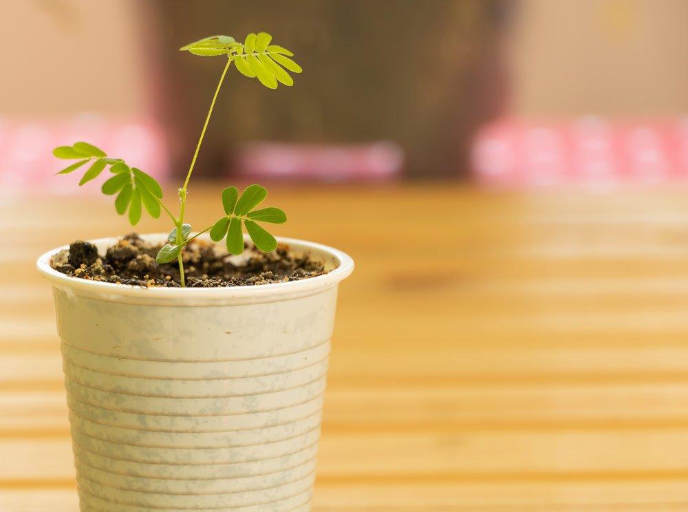 Mimoese vermehren