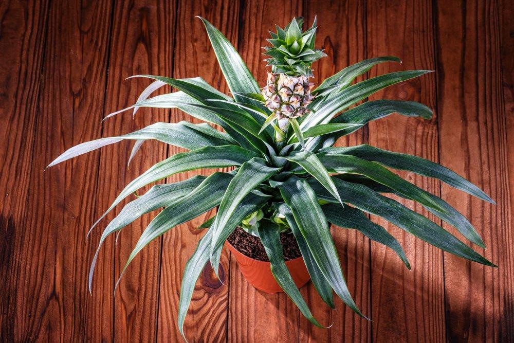 Regrowing Ananas