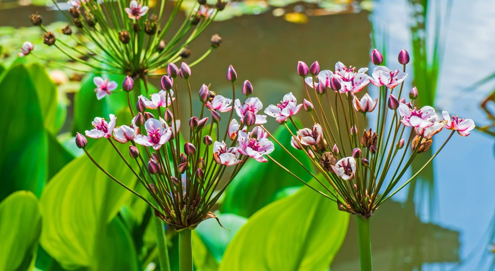 Schwanenblume pflanzen, pflegen und vermehren