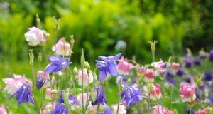 Aklei im Garten