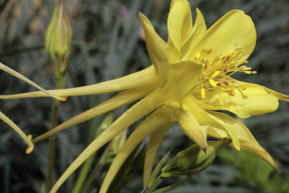 Akelei Yellow Queen