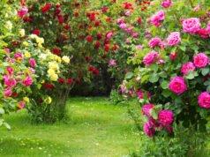Üppig blühende Strauchrosen im Garten