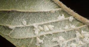 Weiße Fliegen am Kohlblatt