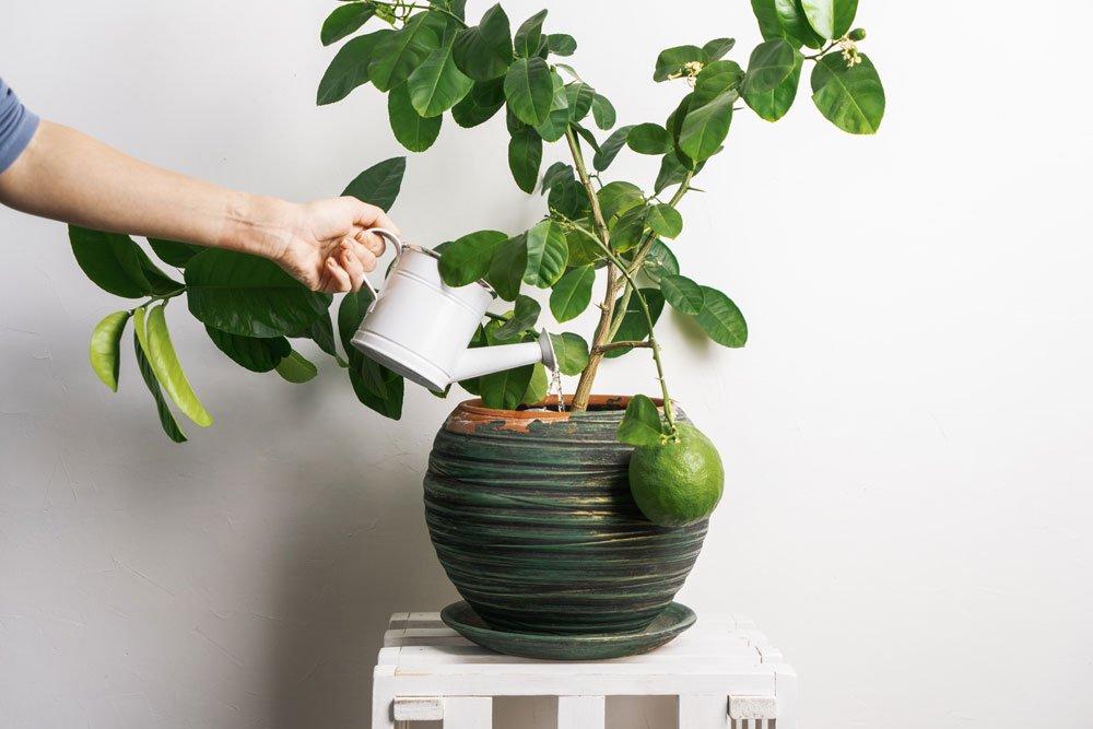 Junger Zitronenbaum wird gegossen