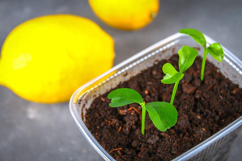 Zitronenbaum - junge Pflanze