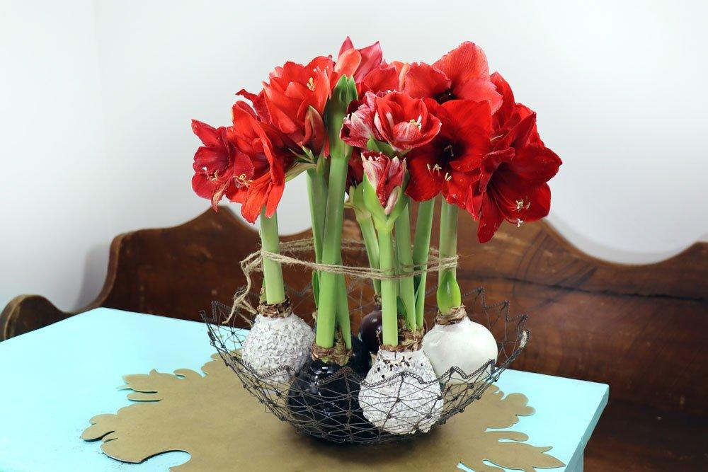 Amaryllis Blumenzwiebeln in Wachs